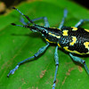 One of the many beautiful weevils found in Costa Rica's tropical rainforest.