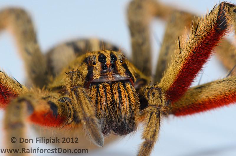 I'm normally not arachnophobic... Wandering Spider (<i>Cupiennius coccineus</i>) Rara Avis Rainforest Reserve, Costa Rica