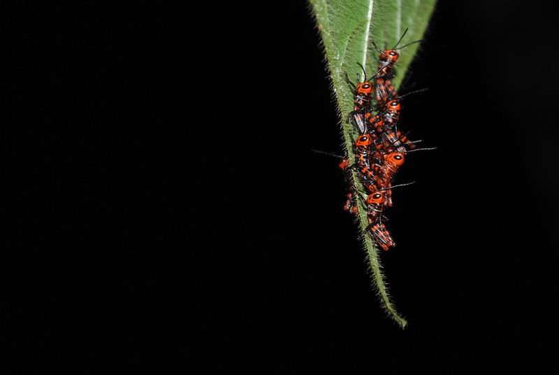 These Orthoptera nymphs were gathered on a leaf tip for the night.<br /> Finca La Escondida, Costa Rica