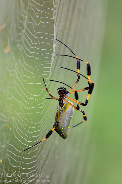 Golden-silk Orb Weavers (<I>Nephila clavipes</i>) produce one of the strongest natural fibers found on this planet.