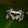 The Regal Jumping Spider (<i>Phidippus regius</i>) displays a beautiful iridescence on its chelicerae (jaws).