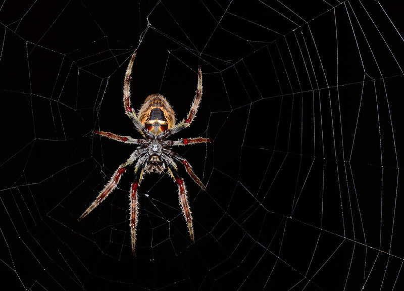 These Tropical Orbweavers (<i>Eriophora ravilla</i>) grow quite large and can have just the orb portion of their web be a meter across. This species can be common in the Florida Everglades.