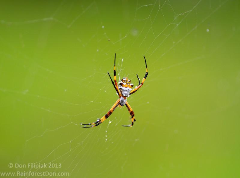 <i>Argiope argentata</i> Rara Avis Rainforest Reserve, Costa Rica