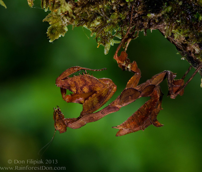 This species of dead leaf mimicking praying mantis was seen several times during one of the two week expeditions to Rara Avis (foothills of Costa Rica's North Caribbean slope).