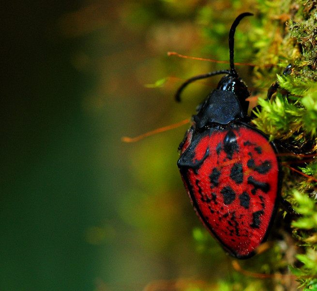 A beautiful red Tortoise Beetle (Chrysomelidae) from Finca La Escondida, Costa Rica
