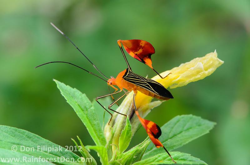 Leaf or Flag-footed Bug (<i>Anisocelis flavolineata</i>) from Gamboa, Panama