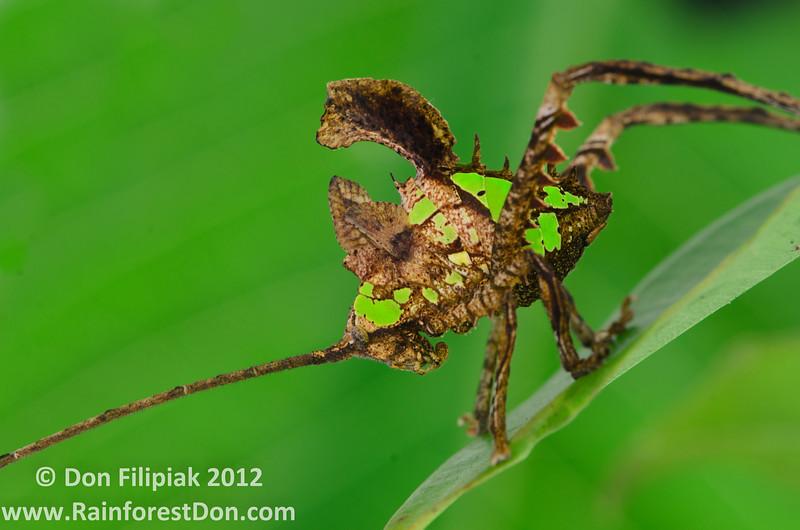 An amazing leaf-mimicking katydid from El Valle, Panama.