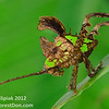 An amazing leaf-mimicking katydid from El Valle, Panama.