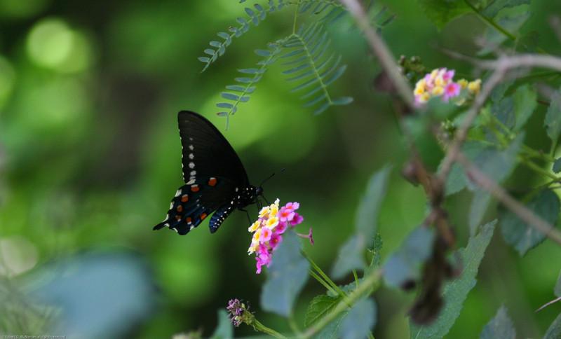 Pipevine Swallowtail_Rio Grande Valley_TX-647
