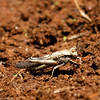 Locust_Mpala_Kenya-9207