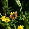 Northern crescent_Beatton Provincial Park_BC_Canada-393-2