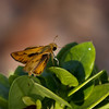Skipper_Chandler_Maricopa Co_AZ-6597