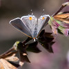 Gray Hairstreak_Ventura_Ventura Co_CA-1010