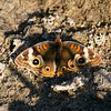 Common Buckeye_SCRE_Ventura Co_CA-003