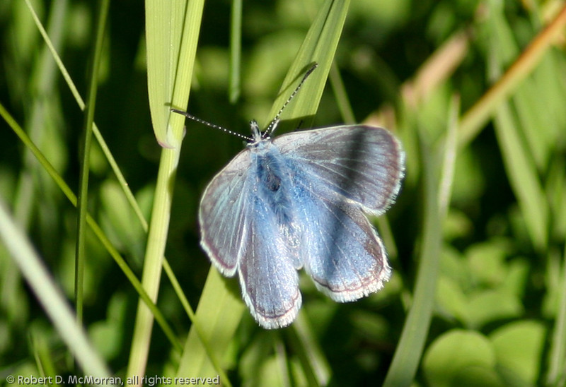Silvery Blue_Tupper_BC_Canada-352