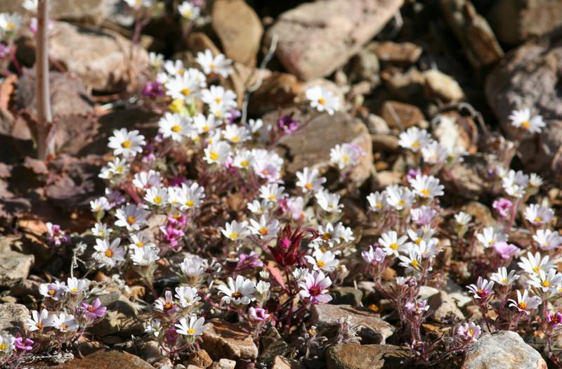 Sagebrush Checkerspot_Death Valley_CA-329