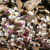 Sagebrush Checkerspot_Death Valley_CA-329