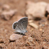 Reakirt's Blue_Chiricahua NM_AZ-2176