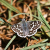 Common Checkered-Skipper_Ventura_Ventura Co_CA-3897
