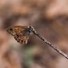 Pine Satyr_SE AZ_AZ-7300-3
