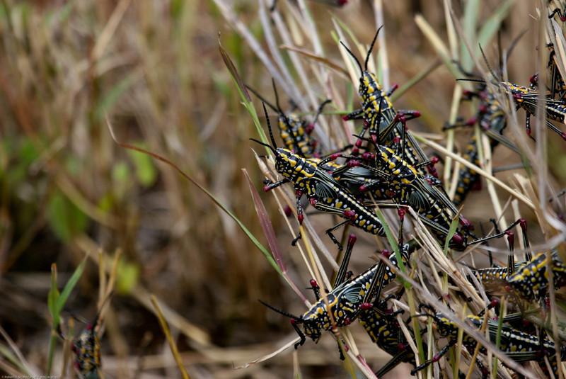 Locust_Mpala_Kenya-9163