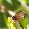 Skipper_HornCyn_Ventura Co_CA-0773