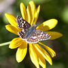 Common Checkered-Skipper_Ventura_Ventura Co_CA-8209