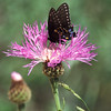 Black Swallowtail- Garden Canyon-SE Arizona- 8-28-2004_1