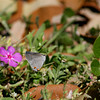 Gray Hairstreak_Rio Grande Valley_TX-588