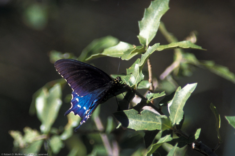 Pipevine Swallowtail- Madera Canyon-AZ- 2004_1
