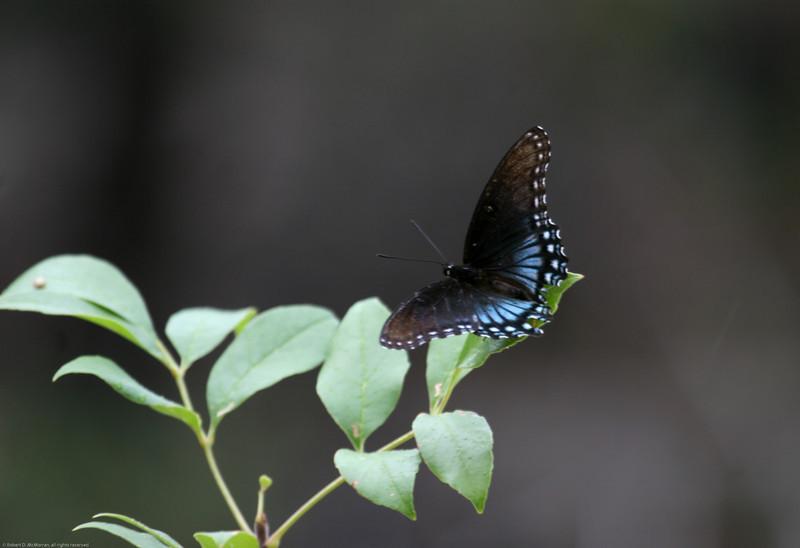 Black Swallowtail_Ft Huachuca_AZ-3329