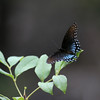 Black Swallowtail_Ft Huachuca_AZ-3329