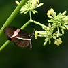 Butterfly- Puerto Morelos_MX 466