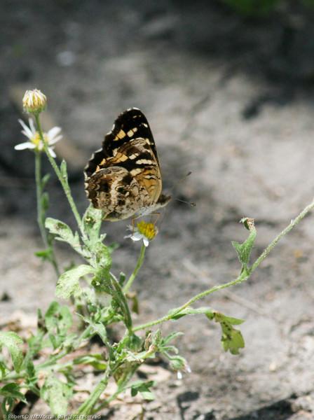 Pale-banded Crescent_Rio Grande Valley_TX-044