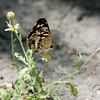 Pale-banded Crescent_Rio Grande Valley_TX-044