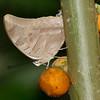 Butterfly- Puerto Morelos_MX 553