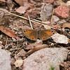 Red Saytr_Chiricahua Mtns_AZ-1-2