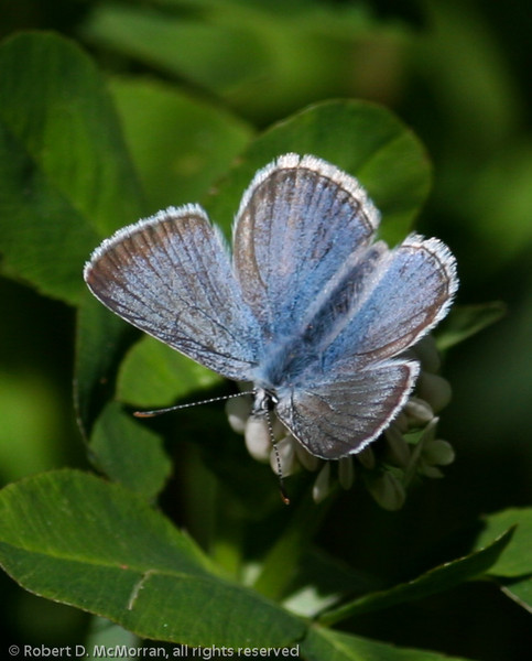 Greenish Blue_Beatton Provincial Park_BC_Canada-106