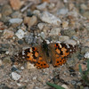 Painted Lady_Saticoy Ponds_Ventura Co_CA-404