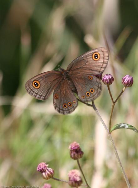 Butterfly_Mpala_Kenya-5706-2