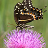 Palamedes Swallowtail- RioGV_TX- 577-2