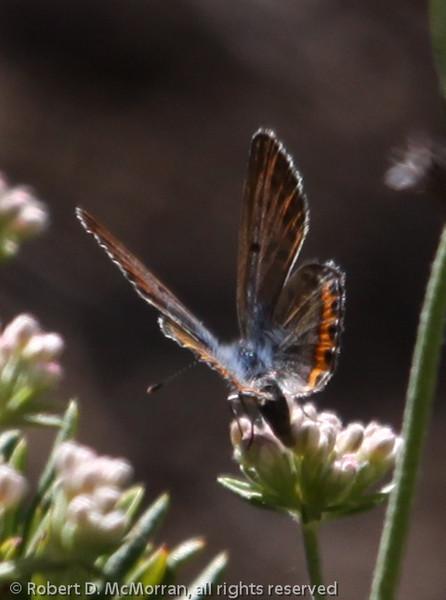 Lupine Blue_Dough Flat Trail_Ventura Co_CA-5639