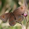Butterfly_Mpala_Kenya-5706