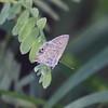 Ceraunus Blue_Davenport Ranch_Atascosa County_TX-1720