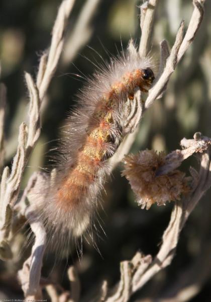 Caterpillar_SaticoyPonds_VenCo_CA-2126