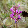 Northern Cloudywing_Chiricahua Mtns_AZ-2232-1