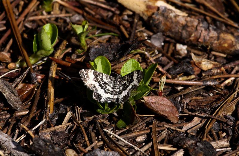 Moth--Ormond-Lk--BC_Canada-0923