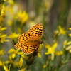 Fritillary_Mammoth Lakes_Mono Co_CA-85