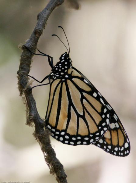 Monarch_Sycamore Cyn_Ventura Co_CA-007