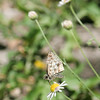 Common Checkered Skipper_Rio Grande Valley_TX 041